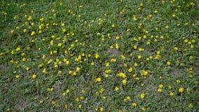 Dientes de león en hierba verde almacen de metraje de vídeo