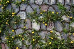 Dientes de león en la trayectoria de piedra Imagen de archivo libre de regalías