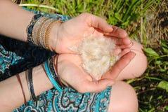 Dientes de león en las manos de muchachas Foto de archivo