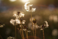 Dientes de león en sol Imagen de archivo libre de regalías