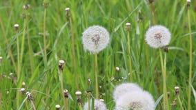 Dientes de león en un prado verde después de florecer almacen de metraje de vídeo