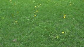 Dientes de león florecientes en hierba verde almacen de metraje de vídeo