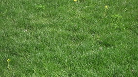 Dientes de león florecientes en hierba verde metrajes