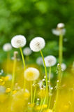 Dientes de león, flores del verano Foto de archivo libre de regalías
