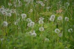 Dientes de león mullidos contra la perspectiva de la hierba verde fotografía de archivo