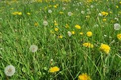 Dientes de león que crecen en un prado verde enorme de la primavera Fotos de archivo libres de regalías