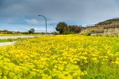 Dientes de león que florecen en el lado del camino en la primavera fotos de archivo