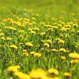 Dientes de león soleados del amarillo del campo del fondo de la primavera Fotos de archivo