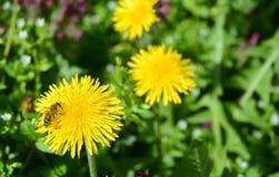 Dientes de león y abeja Foto de archivo libre de regalías