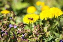 Dientes de león y abeja florecientes Fotos de archivo