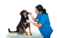 Dientes de perro del veterinario que aplican con brocha Foto de archivo libre de regalías