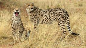 Dientes de un guepardo Fotos de archivo libres de regalías