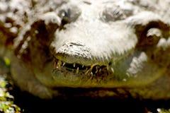 Dientes del cocodrilo Foto de archivo libre de regalías