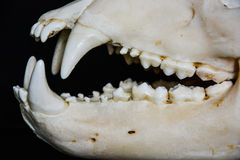 Dientes del cráneo de un oso Fotografía de archivo