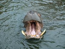 Dientes del hipopótamo Imagenes de archivo