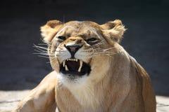 Dientes descubiertos de las leonas Imagenes de archivo