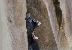 Dientes en un gorila occidental occidental Fotografía de archivo
