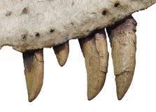 Dientes fósiles y hueso de la quijada del dinosaurio aislados. Imagen de archivo