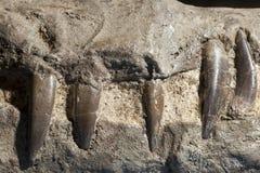 Dientes fosilizados de Pliosaurus, fotografía de archivo