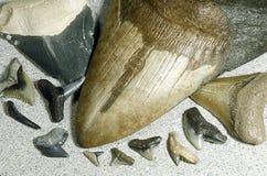 Dientes fosilizados del tiburón Imagen de archivo libre de regalías