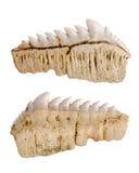 Dientes fosilizados fósil del tiburón Aislado foto de archivo libre de regalías