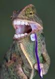 Dientes que aplican con brocha del camaleón Imagen de archivo libre de regalías