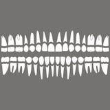 Dientes y raíces de la dentición Imagenes de archivo