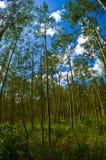 Diep in Aspen Forests met Lang Dun Aspen Trees voor altijd Stock Foto