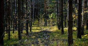 Diep bos bij winderige zonnige dag met slingerende jonge bomen stock videobeelden