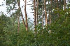 Diep bos groen de zomerbos met lange pijnboombomen en dichte struiken en loofbomen Stock Foto