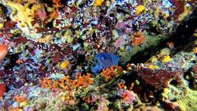 Diep vrij duiken - Colourfull-ertsader met een moray paling stock video