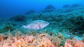 Diep vrij duiken - Grote witte tandbaarsvissen bij de bodem stock videobeelden