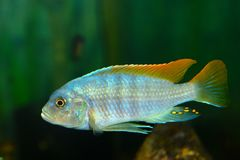 Diep Water Hap & x28; Placidochromis electra& x29; Aquariumvissen stock foto