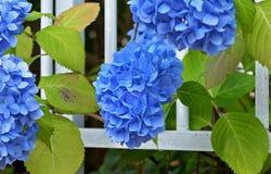 Diepe blauwe hydrangea hortensia's met groene bladeren stock foto's