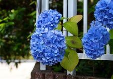 Diepe blauwe hydrangea hortensia's met groene bladeren royalty-vrije stock afbeelding