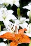 Diepe oranje en witte lelie Stock Foto