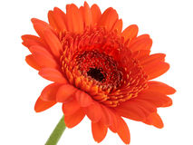Diepe Oranje Gerber Daisy Focus in Centrum Stock Afbeelding