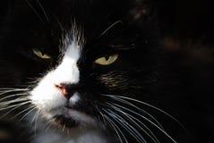 Diepe zwarte kat Stock Afbeelding