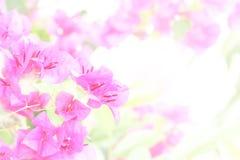 Bloeiende bougainvillea op wit. Royalty-vrije Stock Afbeelding