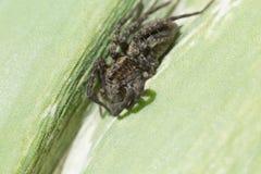Dier, harige spinachtige, gevaarlijk, groen, insect, verbindingsdraad, het springen, blad, macro, aard, klein vergift, eng, spin, royalty-vrije stock foto's