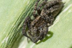 Dier, harige spinachtige, gevaarlijk, groen, insect, verbindingsdraad, het springen, blad, macro, aard, klein vergift, eng, spin, stock fotografie