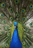 Dier - Indische Blauwe Peafowl (Pavo Cristatus) Stock Foto's