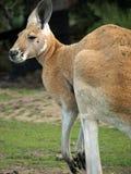 Dier - kangoeroe Royalty-vrije Stock Foto