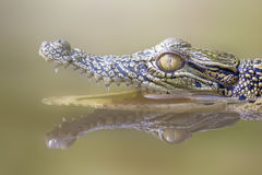 Dier, krokodil, water, bezinningen, Royalty-vrije Stock Afbeeldingen