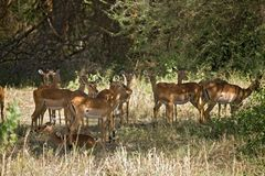 Dieren 012 gazelle stock foto
