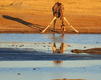 Dieren bij waterhole Stock Afbeelding