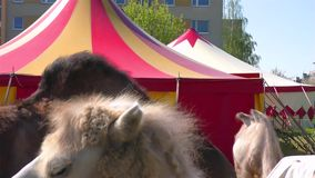 Dieren in Circus - Kamelen stock footage