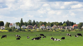 Dieren cows Holland. Farmland with cows with the town of Dieren Gelderland in the background. The Netherlands Stock Image