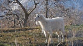 Dieren in de dierentuin, geiten royalty-vrije stock foto's