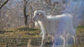Dieren in de dierentuin, geiten stock afbeelding